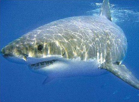 Comment naquit le requin