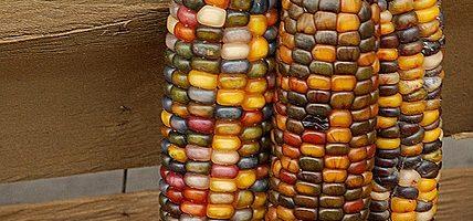 Contes et Légendes : La légende du maïs