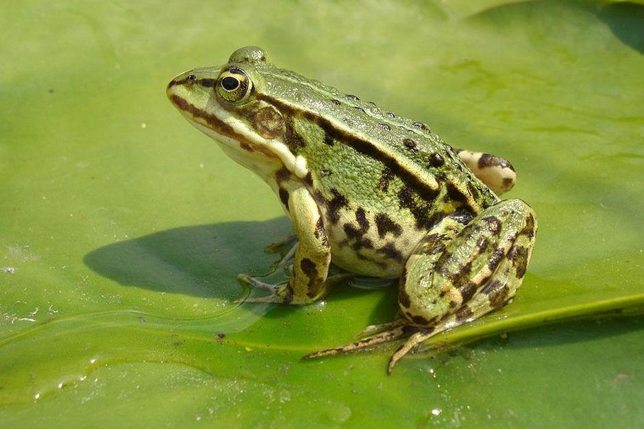 Pourquoi la grenouille vit-elle dans l'eau ?